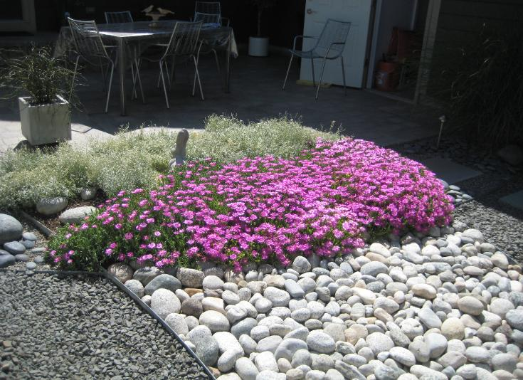 purple ice plant and snow in summer garden