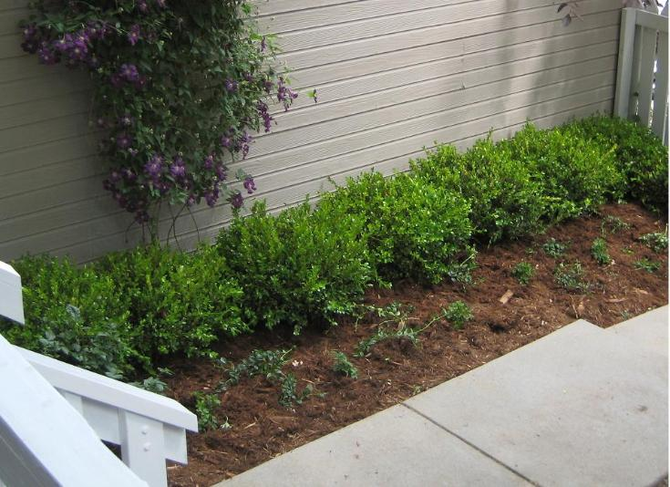 boxwood hedge and clematis