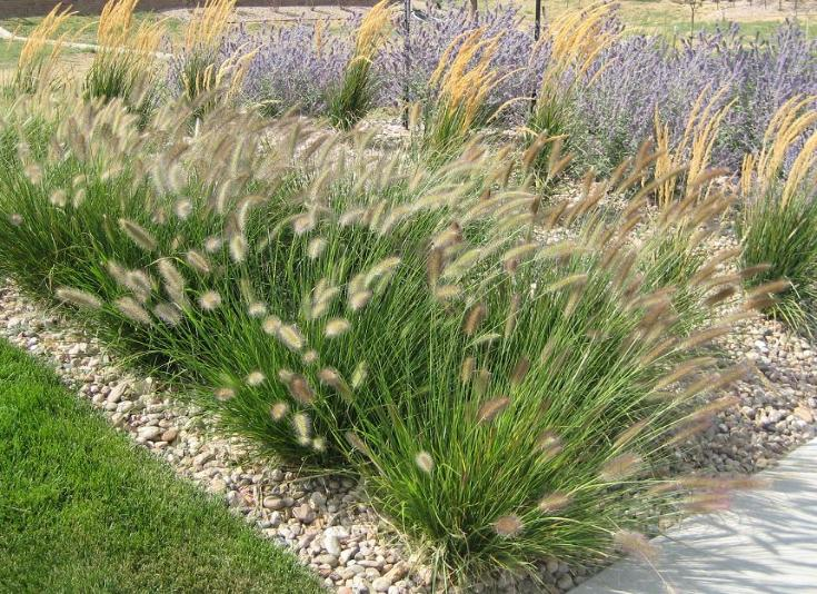 ornamental grasses and russian sage